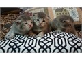 These are beautiful exclusive Scottish Fold kittens that are 2 weeks old and wi