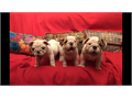English Bulldog Puppies 10 weeks old white with fawn markings current vaccines and have been dewo