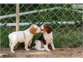 Brittany Spaniel puppies for sale Just one short haired black and white dog and one medium coat liv