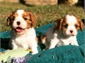 I have a two Cavaliers King Charles puppies which i want to give out to any pers