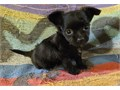 3 puppies available Please read description  They will be 4-5lbs full gr