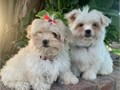 Shihpoo Puppies Shih-tzuPoodle Mix 1 Male 1 Female 9 weeks old Beautifully colored Puppies are