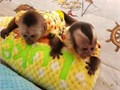 This week were meeting the white-faced capuchin  black cap on top of their head which is said t