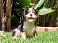 Dallas is a Tri-Color male Cavalier He is 10 weeks old and ready to find an Amazing home This pup