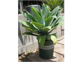 Agave Plants Medium - 10 Available From 30 Up Phone Calls  Cash Only Please NO Texts Near Cal