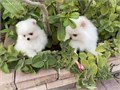 Pomeranian pups They have been vet checked 1st shots and round of wormerThey are 8 weeks