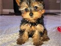 12 weeks old yorkie puppies ready for adoption The puppies have been raised in a very calm environm