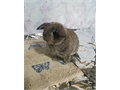 Baby Boy purebreed Holland bunny Domestic rabbit not wild he is accusotmed to indoor temperature i