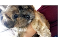 We have four 12 weeks very cute mix Yorkie and toy Poodle Puppies We send all of our puppies home