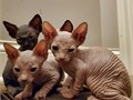Beautiful sphynx kittens 14 weeks old and ready to leave the boy is black and the girl is cream b