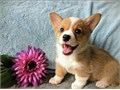 Text us at 717-384-5164 for more details on these adorable male and Female Pembroke Welsh Corgi Pupp