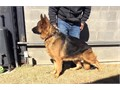 akc german shepherd importavailable for stud 40000call for more info 310 988-8829the l
