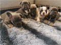 Fantastic French BulldogsFor additional information on these friendly puppie