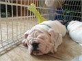 Beautiful English bulldog puppy female eleven weeks old white must see up to date shots full AKC pap