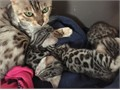 Bengal Kittens Due to circumstances I dont want to go into im going to have to look at rehoming my
