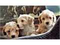 MALTIPOO PUPPIES ADORABLES Adoption fee 2875 Summary Breed - MALTESE  Toy-POODLE AD