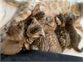 6 Gorgeous glittery snow Bengal Kittens for sale for their new forever homesW