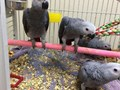 They are getting basic handling training and flying recall training I am a private breeder with a g