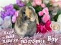Beautiful very sweet Holland lop Bunnies 8 weeks old 175 562-270-8968