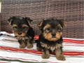 Two gorgeous Yorkie pups Cute Yorkshire puppies available They are intelligen