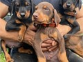 Puppies are KC Registered microchipped had first and second vaccination 2 health checks with vet