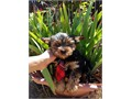 Teddybear face AKC Yorkshire Terrier for adoption In good health and loves human interaction  Vacc