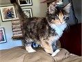 affectionate pure mainecoon  kittens available they look better than photos as it is difficult