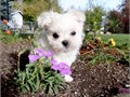 T  CUP MALTESE PUPPIES FOR SALE MALTESE PUPPIES FOR SALE SHOTS AND DEWORMED SERIOUS BUYERS ONLY