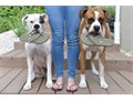 Grown and white male and female parents boxer available for any pet lover family or breeder for repr