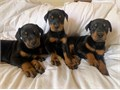 Doberman puppies for a new healthy and cute family only have 2 malefemale available rehomingif