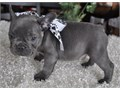 Good French Bulldog PupsPLEASE CONTACT VIA  PATRICKGRAY AT HOTMAIL  COM  OR Text ME IN WORD in