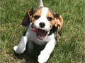 Beautiful Beagle puppies male and female for caring home do text 951 281-4067