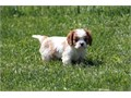 Our baby is a very playful Cavalier puppyvery good temperament He loves being played with He is