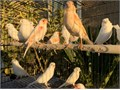 Beautiful American White and Red Mosaic Canaries starting at 85 and up For Serious Inquiries Call