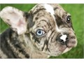 Perfect quality Get a Frenchie from a reputable breeder We have the best varie