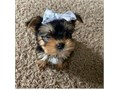 I have teacup yorkie 7week ready to go now home rehoming fee is 300 pickup available