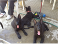 AKC German shepherd pups Sire solid black working lines from SCHH titled ancestry AKC and DNA reg