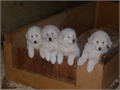 Beautiful Great Pyrenees Puppies White  Fluffy Born May 18th Wormed and 1st ShotHelp protect yo