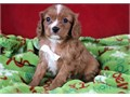 Stunning males and females Cavalier King Charles Spaniel puppies ready to go They comes with all he