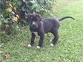 Discover Great Dane Pups Contact 831 318-7674 for recent pics