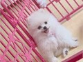 Beautiful Pomeranian puppies just turned 12 weeks and are now ready to meet their new loving family