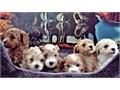 MALTIPOO PUPPIES ADORABLESAdoption fee 2875ADORABLES MALTIPOO PUPPIESCute and Cuddle Puppies