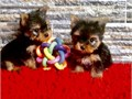 AKC Yorkie  and up-to-date on shots and dewormingEmail  kimdarrel0gmailcomText 551 888 -