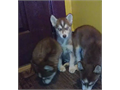 I have 2 siberian husky pups left of a litter of 8brownblue eyesboth female
