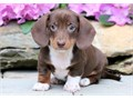 text us for more details at landrymonica74gmailcomHi I am looking to sell my Dachshund pupp