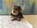 Male toy YorkieGorgeous soft coatRegisterable with CKCVaccinations and dewormings up to date