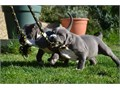 We have 5 adorable bluenose American Pitbull puppies ready for new forever homes Contact for more i