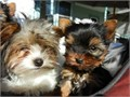 Beautiful Purebred Yorkshire Terriers Puppies with adorable Teddy Bear faces B
