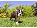 Colt is a Dynamite male Boston Terrier He loves to play all kinds of games in San diego Colt has h
