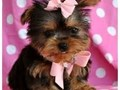 I have 2 male and two female Yorkshire Terrier puppies for adoption They are AKC reg Potty trained